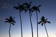 Free Four High Rise Palm Trees Royalty Free Stock Images - 87780929