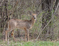 Free White-tailed Deer Royalty Free Stock Photography - 8785257