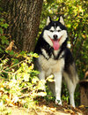 Free Husky Dog Royalty Free Stock Photography - 8786417