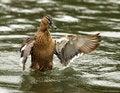 Free Mallard Duck Stock Photos - 8788623