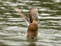 Free Mallard Duck Stock Photography - 8788642