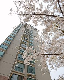 Free Storied Building And Cherry Blossom Royalty Free Stock Images - 8780229