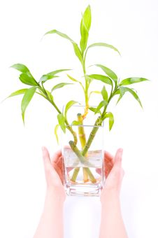Vase With Three Sprouts Of Bamboo Royalty Free Stock Photography