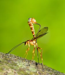 Free Parasitical Wasp Laying Eggs Royalty Free Stock Photo - 8781515