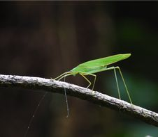 Free Katydid Perches On Twig Stock Photography - 8781552