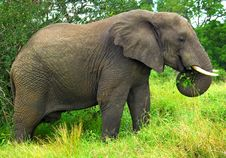 Free A Mature Elephant Feeding Stock Photo - 8783320