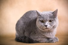 Free British Shorthaired Cat Royalty Free Stock Photography - 8783537