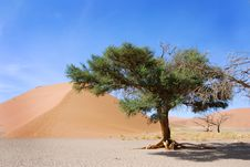 Free Single Tree And Dune Royalty Free Stock Photography - 8783977