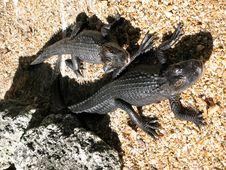 Free Alligators Royalty Free Stock Photo - 8784155