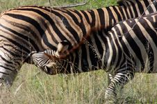 Free Zebra And Baby Nursing Stock Images - 8784534