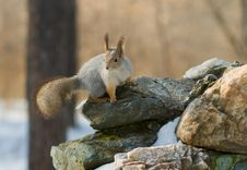 Free Squirrel Sitting On The Stone Royalty Free Stock Photo - 8786965