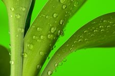 Three Bamboo Leaves Royalty Free Stock Image