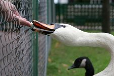 Free Swan Feeding Royalty Free Stock Photo - 8787625