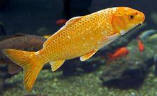 Free Goldfish 2 Royalty Free Stock Image - 8787996