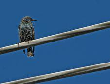 European Starling Royalty Free Stock Photos