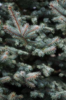 Free The Branches Of A Blue Spruce, Closeup, Background Royalty Free Stock Photography - 87820307