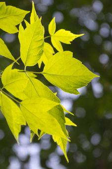 Free Leaves Lit From Behind By Soft Sunset Light. Royalty Free Stock Photo - 87851505