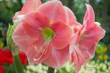 Free Amaryllis Rosalie Stock Photo - 87851520