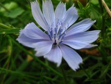 Free Common-chicory-flower Royalty Free Stock Image - 87853786