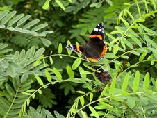 Free Red Admiral Butterfly Stock Photography - 87853842