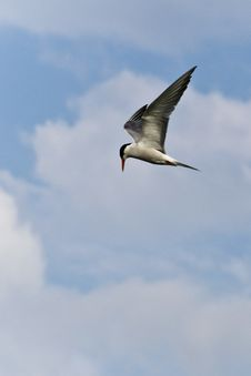 Free With Black And White Plumage, A Common Tern Is Searching For Fish In Flight Stock Photo - 87853880