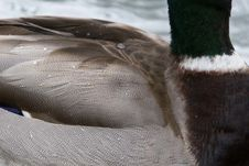 Free Duck Feathers Close-up Royalty Free Stock Photo - 87854965