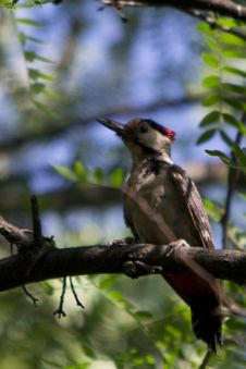 Free Photo Of A Woodpecker In Forest. These Birds Have Tough Bills For Drilling Holes In Trees And Long Sticky Tongues For Extracting F Royalty Free Stock Photos - 87855008
