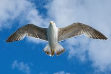 Free White And Grey Bird Flying Freely At Blue Cloudy Sky Royalty Free Stock Images - 87855069