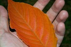Free Hand-holding-rusty-leaf Stock Images - 87855614