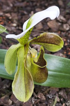 Free Lady S Slipper Orchid Royalty Free Stock Image - 87855656