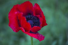 Free Common Garden Poppy Royalty Free Stock Photo - 87856295