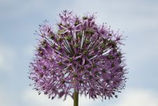 Free Alium Onion Flower Stock Photography - 87856722