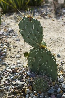 Free Opuntia Prickly Pear Cactus Royalty Free Stock Photos - 87856758
