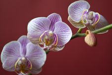 Free Moth Orchid On Red Background Royalty Free Stock Photography - 87857057