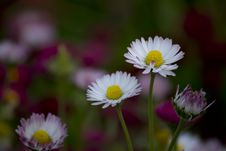 Free Daisies Are Sometimes Called Day S Eye Because They Open Petals At Dawn And Close Them At Night. Stock Image - 87858271