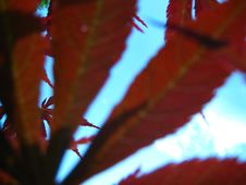 Free Sky-seen-through-rusty-leaves Royalty Free Stock Photo - 87858345