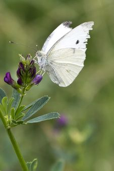 Free Small White Butterfly Royalty Free Stock Images - 87858589