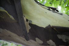 Free Picture Of A Sycamore Tree Shedding Its Bark, A Natural Process Of Mature Trees. Stock Photos - 87858733