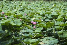 Free Indian Water Lilies Stock Photos - 87859283