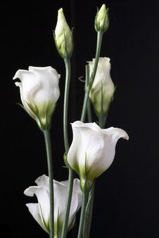Free Lisianthus Flowers Against Dark Background Royalty Free Stock Photos - 87859328
