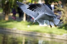 Free Black Sea Gull Adapted To City Park Life Prepares To Land On Lake. Royalty Free Stock Images - 87859849