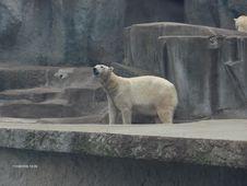 Free Polar-bear-sniffing Stock Images - 87864484