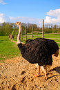Free Ranch And Ostrich Stock Images - 8790434