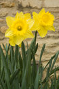 Free Jonquil In The Garden Stock Images - 8790864