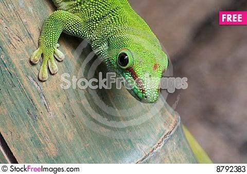 Gecko close up Stock Photo