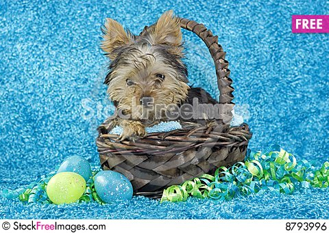 Yorkie Puppy in Basket with Easter Eggs Stock Photo