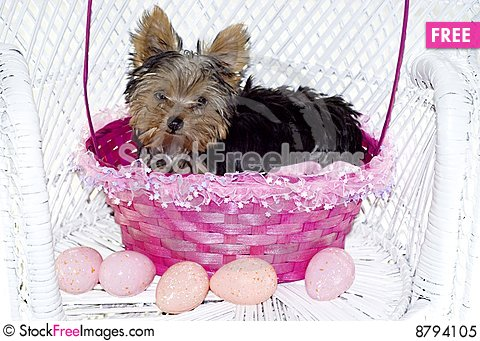Yorkie Puppy in Pink Easter Basket Stock Photo