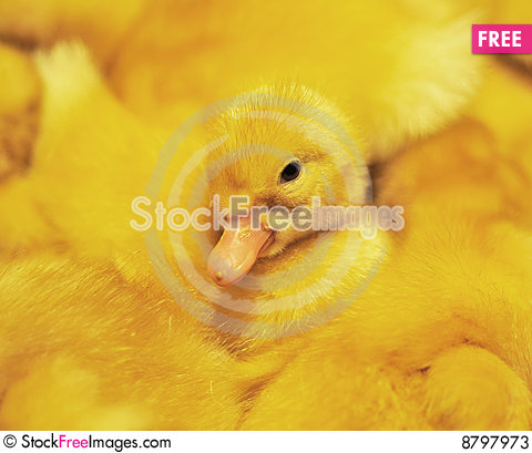 The duckling Stock Photo