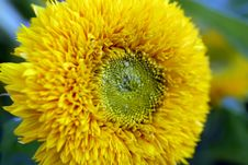 Beautiful Yellow Decorative Sunflower Royalty Free Stock Images