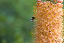 Flying Bumble Bee Stock Photography